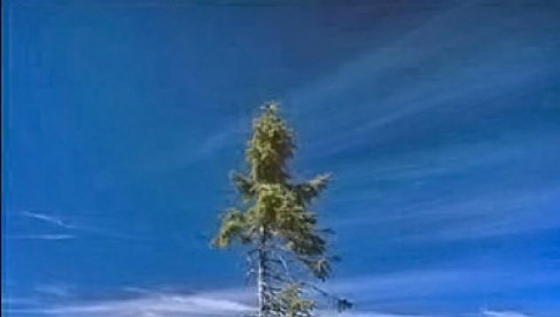 Най-старото дърво в света