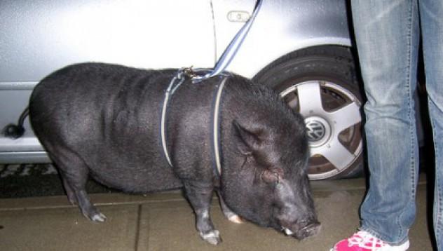 Пълна свинщина