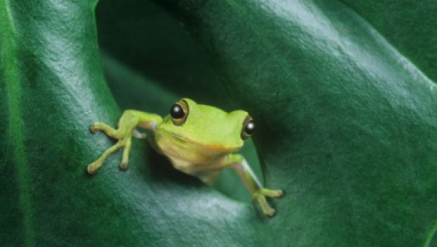 Един милиард жаби се изяждат годишно по света