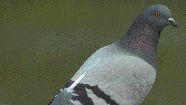 Да вдигнеш гълъбите