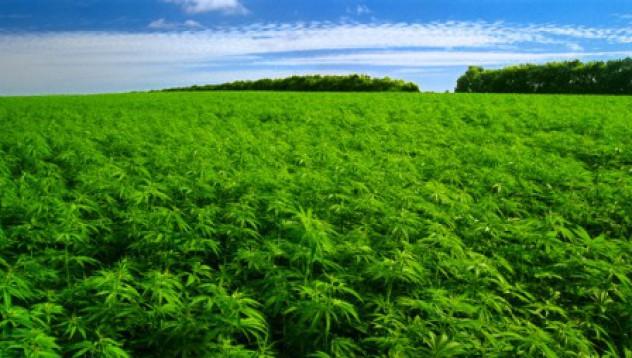 Там, където тревата е легална...