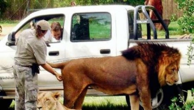 Пипат цар Лъв по топките