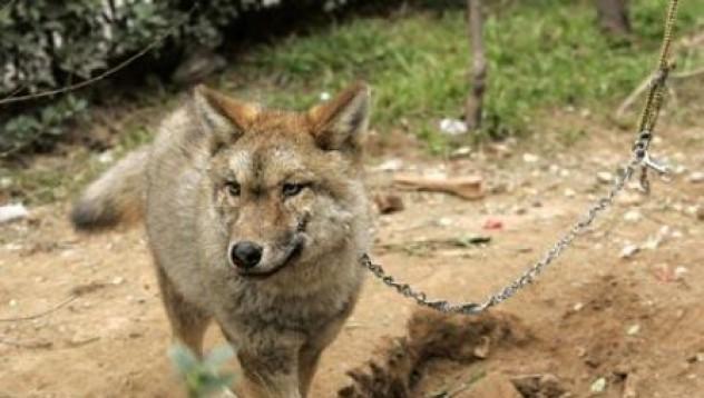 Куче вълча порода или вълк – кучешка?