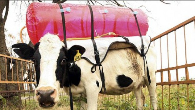 Пръдливите крави