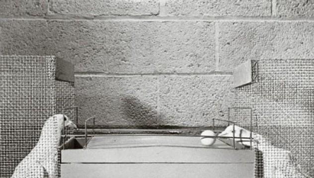 Затворнически гълъби