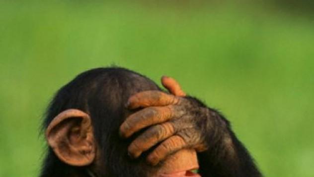Шимпанзетата обменят месо за секс