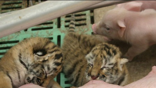 Свиня кърми тигърчета