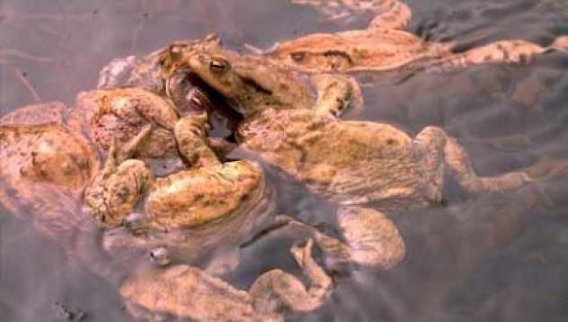 Жабите обичат груповия секс