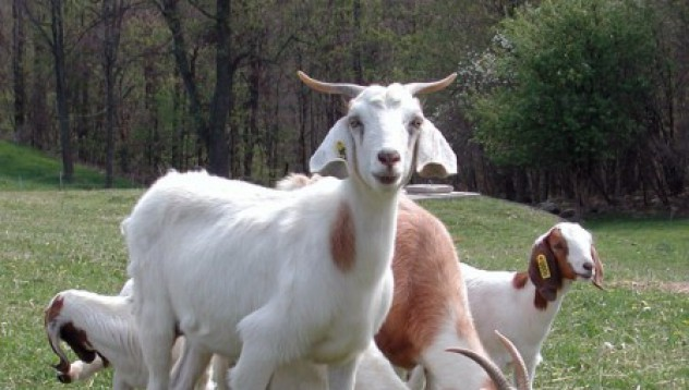Гугъл бори пожарите с ... кози