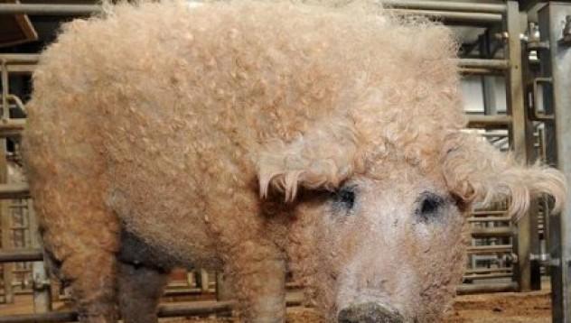 Свинята-овца!