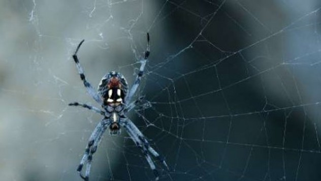 Паяци лекуват импотентност