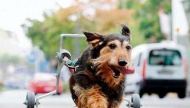 Куче на инвалидна количка