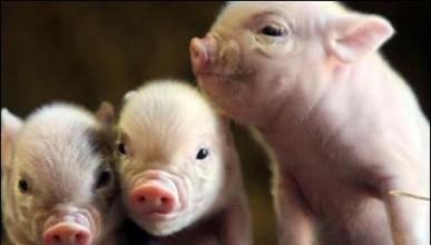 Свинчовци