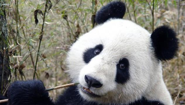 Пандата е куче