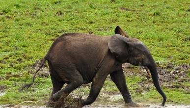Слон секс-маниак