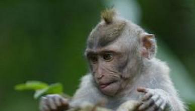 Моногамна маймуна