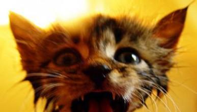 Маринована котка с олио