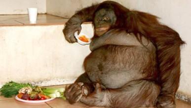 Твърде дебел орангутан