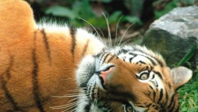 Пластична операция на тигър