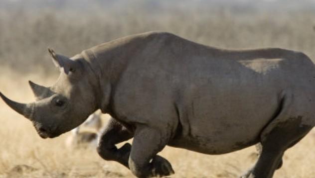 Изгубихме носорозите