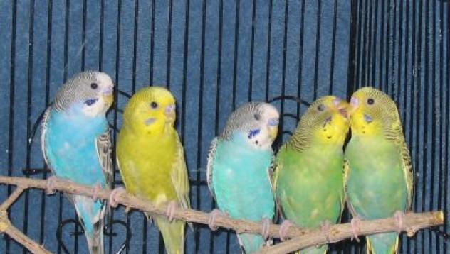 Умен папагал