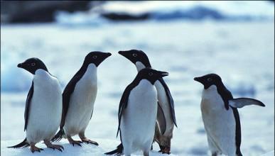 Пингвини с голямо желание