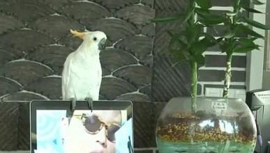 Папагал пее Gangnam Style