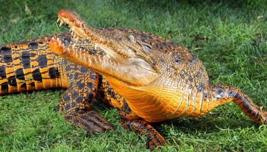 Оранжев крокодил