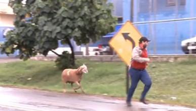 Лудата коза
