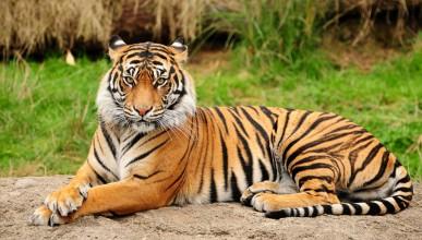 Да живееш с тигри у дома