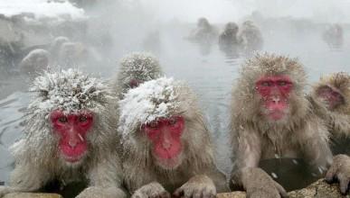 Макакът в Япония