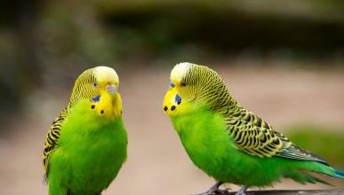 Говорящият папагал в Гинес