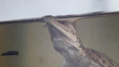 9 крокодила в аквапарк