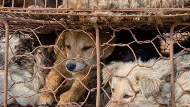 Около 2000 кучета ще бъдат сготвени