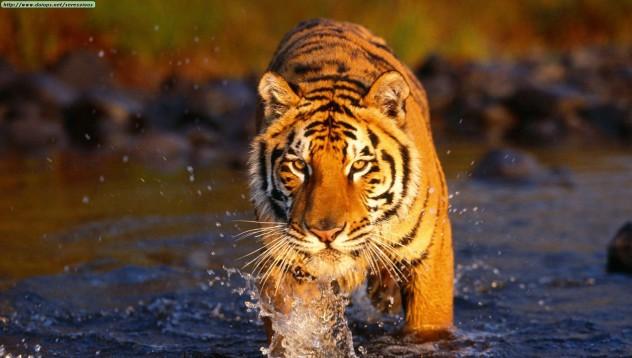 Мъж изтърпял присъда за притежаване на порно с тигър