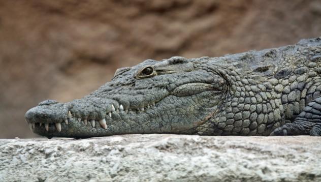 Крокодилите също обичат игрите