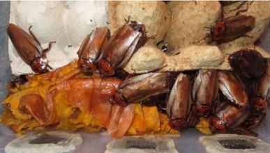 Да живееш с 200 000 хлебарки