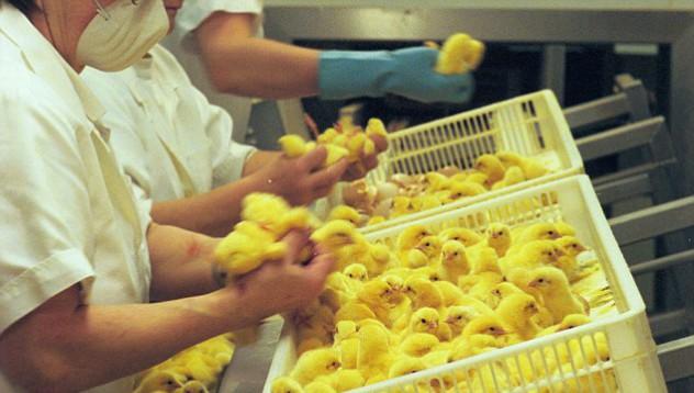 Станете пилешки експерт