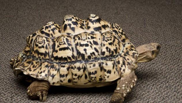 Студенти направиха нова черупка за костенурка