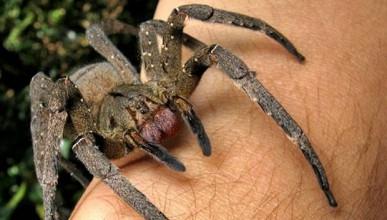 Жена намери бразилски скитащи паяци в банани