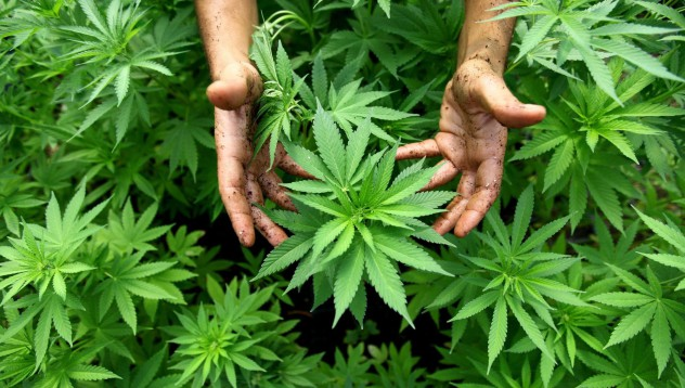 Няма значителна промяна в потреблението на марихуана след легализиране
