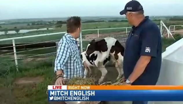 Когато кравите станат интимни в ефирно време (18+)