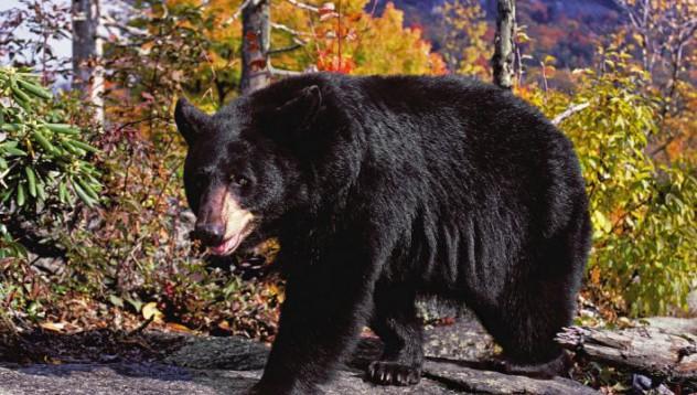 Собственик откри мечка в пекарната си
