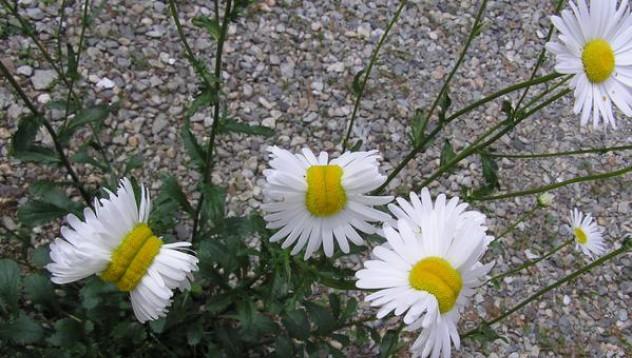 Жители на Фукушима показват аномалии при цветята
