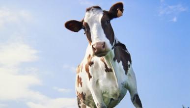 Свободолюбива крава дразни властите цели три месеца