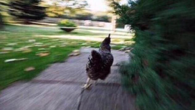 Една кокошка в туитър с цяла компания
