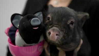 Китайски учени разработиха микро прасе, което винаги ще бъде малко