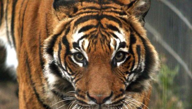 Жена решила да опитоми тигър в зоопарка