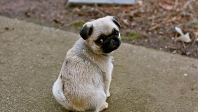 Защо кучетата си накланят главата, когато им говорим