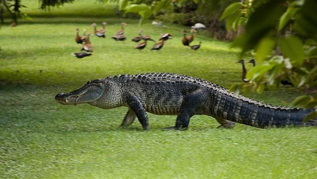 Мъж пусна алигатор в заведение за бързо хранене